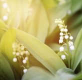 Lily-of-the-valley. Blossoming lilies of the valley against the morning sun Royalty Free Stock Images