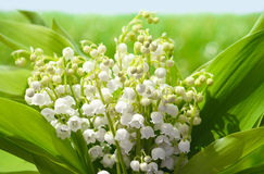 Lily of the valley. Bouquet on green meadow Stock Photo