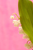 Lily of the valley. A bunch of lily of the valley on soft background Stock Image