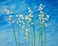 Lily of the valley. On blue Royalty Free Stock Photo