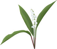 Lily of the valley. An illustration of a Lily of the valley stock illustration