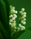 Lily of the valley. On the green background royalty free stock photography