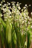Lily-of-the-valley. A glade of fine white lilies of the valley in morning dew Stock Photo