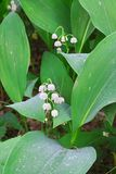 Lily of the valley. Stock Photos