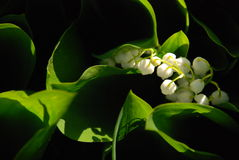 Lily of the Valley. At dawn Royalty Free Stock Photo
