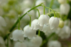Lily of the valley. Macro shot stock photo