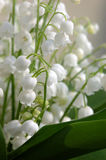 Lily of the valley. Detail shot royalty free stock photography