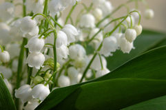 Lily of the valley. Detail shot royalty free stock images