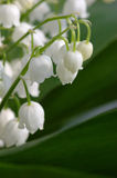 Lily of the valley. Detail shot stock photo