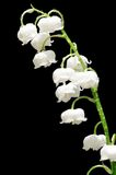 Lily of the valley. Over black Stock Photo