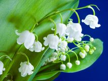 Lily of the valley. Blooming Lily of the valley closeup Royalty Free Stock Photography