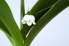 Lily of the valley. Blossom of a lily of the valley Royalty Free Stock Photography