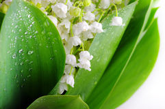 Lily-of-the-valley Imagem de Stock