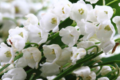 Lily of valley Royalty Free Stock Photo