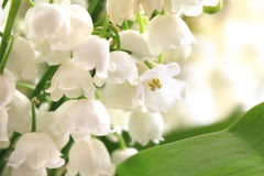 Lily of valley Stock Photos