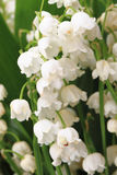 Lily of valley Stock Image
