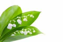 Lily of valley b Stock Image