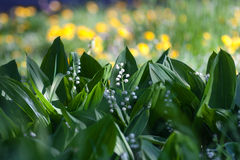 Lily of the valley background. Lily of the valley in the forest with yellow bokeh background royalty free stock image