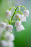 Lily-of-the-valley bells macro Stock Photo