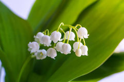 Lily of the valley. Blossoming lily of the valley. Lily-of-the-valley. Convallaria majalis.Spring background. Flower of lily of the valley on a blue background Stock Images
