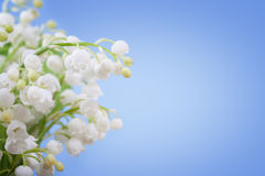 Lily of the valley on a blue background Stock Image