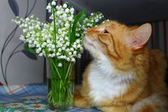 Lily of the valley and cat. White wild grow bells of the lily of the valley with tight green leaves and ginger color cat smell it Stock Images