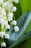 Lily of the valley Royalty Free Stock Images