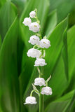 Lily of the valley. Close up Stock Image