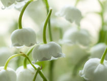 Lily of the valley. Close up of a lily of the valley Royalty Free Stock Photography