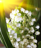 Lily-of-the-valley. Close up Royalty Free Stock Photography