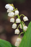 Lily-of-the-valley closeup. Blooming Lily-of-the-valley closeup Stock Image