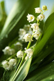 Lily of the valley closeup Stock Photos