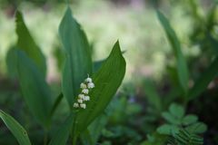Lily of the valley closeup royalty free stock photo