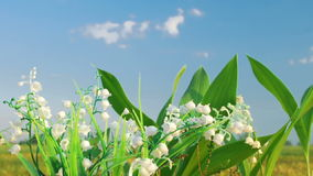 The lily of the valley on the cloud background. Timelapse shot of the lily of the valley on the cloud backgroundn stock video footage