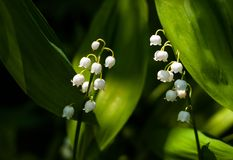 Lily of the valley Convallária flower in the spring forest. stock photo