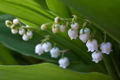 Lily of the valley (Convallaria). On spring glade Royalty Free Stock Image