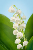 Lily-of-the-valley, Convallaria Stockbild