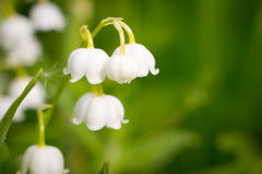 Lily-of-the-valley, convallaria. Nature background Royalty Free Stock Image