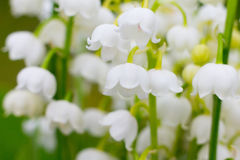 Lily-of-the-valley, convallaria Stock Image