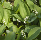 Lily of the valley (convallaria) Royalty Free Stock Images