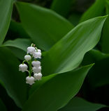 Lily of the valley (Convallaria) close up. Lily of the valley on spring glade - shallow depth of field Stock Photography
