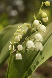 Lily-of-the-valley (Convallaria majalis) Stockbilder