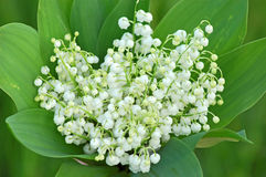 Lily of the valley (convallaria majalis) Stock Photography