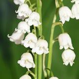 Lily of the Valley - Convallaria Majalis Stock Photos