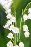 Lily of the Valley - Convallaria Majalis. The lily of the Valley - Convallaria Majalis Royalty Free Stock Image