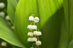 The Lily of the valley - convallaria majalis Stock Photos