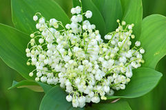 Lily of the valley (convallaria majalis) Stock Images