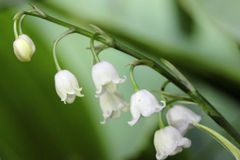Lily of the valley convallaria majalis flower Royalty Free Stock Photos