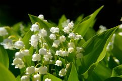 Lily of the valley Convallaria majalis. Lily of the valley, Convallaria majalis, is a fragrant, spring-flowering bulb with many delicate white bells on each stem Royalty Free Stock Images