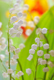 Lily of the valley convallaria majalis Stock Photos